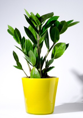 zeezee plant similar to the snake plant the zeezee plant is the