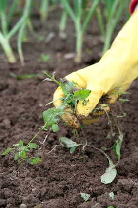 Nice If Your Vegetable Garden Is A Small To Medium Area, Hand Weeding Is  Probably The Best And Most Effective Means Of Weed Control. Pictures